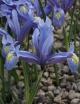 Iris  hyrcana WHIR-108