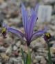 Iris  reticulata WHIR-137