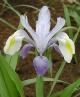 Iris vicaria Sina
