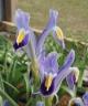 Iris warleyensis Kugi-Tang