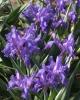 Iris graeberiana (true)