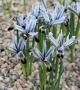 Iris  zetterlundii