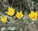 Tulipa wilsoniana flava