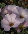 Oxalis ennaephylla PINK JEWEL