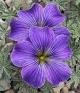 Oxalis ennaephylla Sweet Sue
