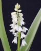 Puschkinia cf. peshmenii white form