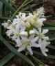 Scilla bifolia Alba