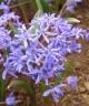 Scilla bifolia KJGR-067