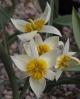 Tulipa buhseana 12KZ-036