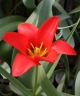 Tulipa carinata Sina