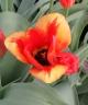 Tulipa fosteriana Mrs. Dagnia
