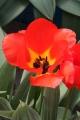 Tulipa fosteriana Agalik strain