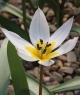 Tulipa humilis 18IRS-009
