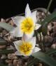 Tulipa koktebelica