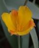 Tulipa kolpakowskiana