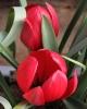 Tulipa kurdica