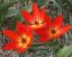 Tulipa praestans spont