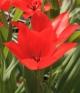Tulipa subpraestans