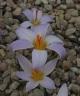 Crocus variegatus